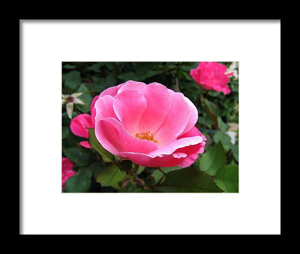 Flower Framed Print featuring the photograph So Pretty by Rhonda Barrett