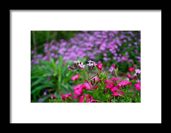 Soapwort Framed Print featuring the photograph Soapwort And Pinks by Kathryn Meyer