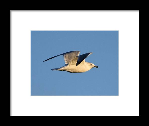 Birds Framed Print featuring the photograph Soaring High by Steve Hayeslip