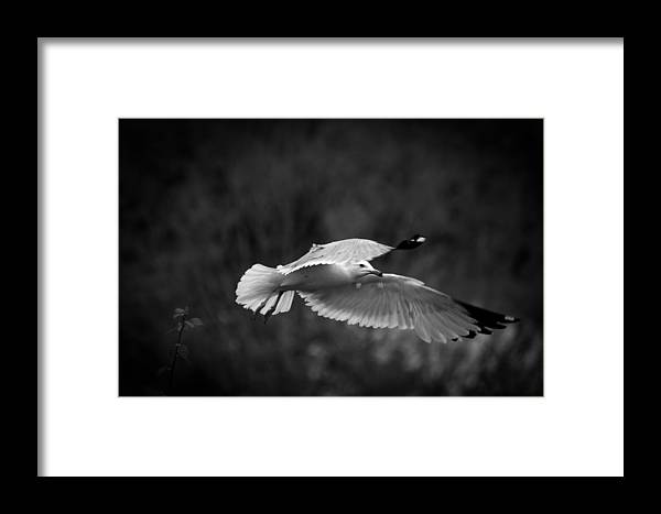 Sea Gull Framed Print featuring the photograph Soaring Seagull by Keith Allen