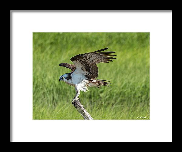 Osprey Framed Print featuring the photograph Soft Landing by Charles Aitken