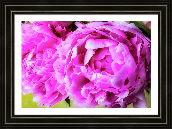Soft Pink Peonies by Garry Gay
