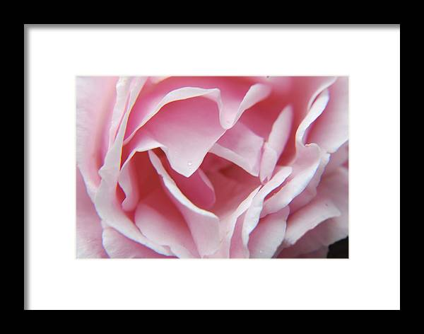 Pink Rose Flower Framed Print featuring the photograph Soft Rose by Jon Daly