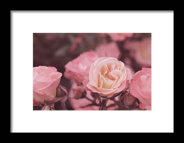 Roses Framed Print featuring the photograph Soft Roses by Christine Buckley