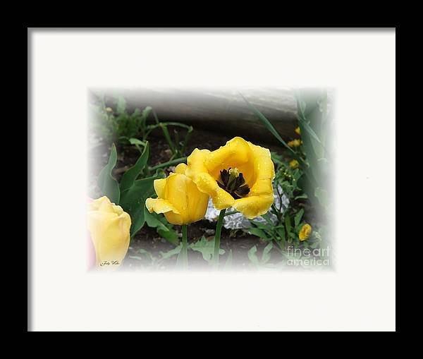 Yellow Framed Print featuring the photograph Soft Yellow by Judy Waller