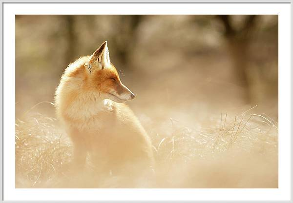 SoftFox series - Sunshine Fox by Roeselien Raimond