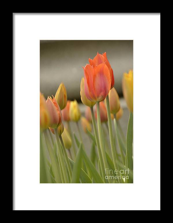 Tulip Framed Print featuring the photograph Softness Of Spring by Terri LeSaint-Keller