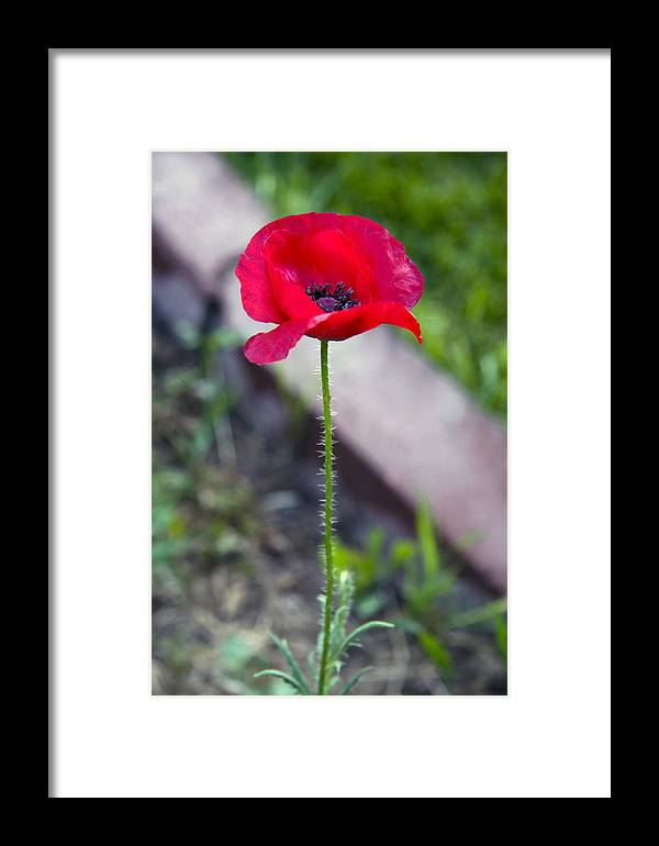 California Poppy Framed Print featuring the photograph Solo California Poppy by Steve Ohlsen