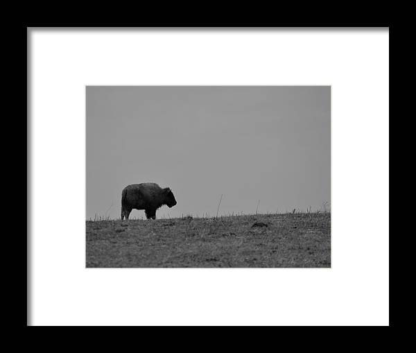 Bison Framed Print featuring the photograph Solo by Thomas Gorman