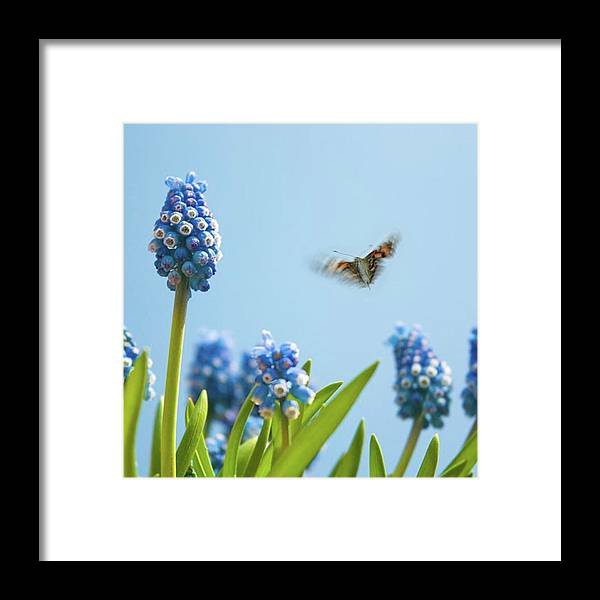 Insectsofinstagram Framed Print featuring the photograph Something In The Air: Peacock by John Edwards