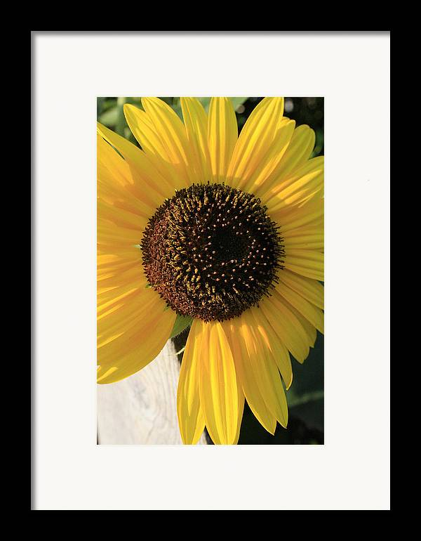 Flowers Framed Print featuring the photograph Son Of A Sun by Alan Rutherford