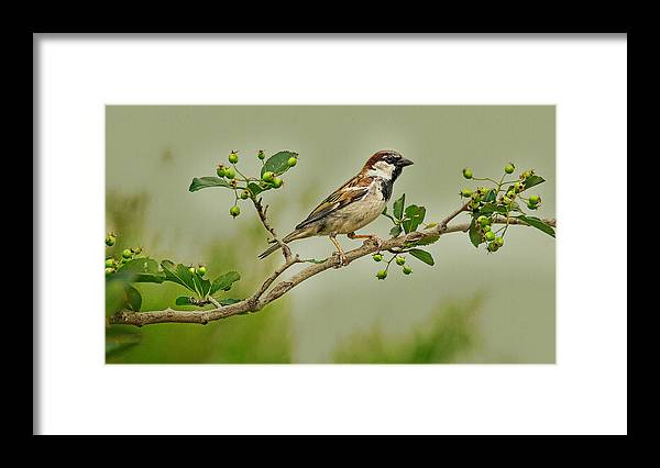 Wildlife Photography Framed Print featuring the photograph Song Sparrow by John Bartelt