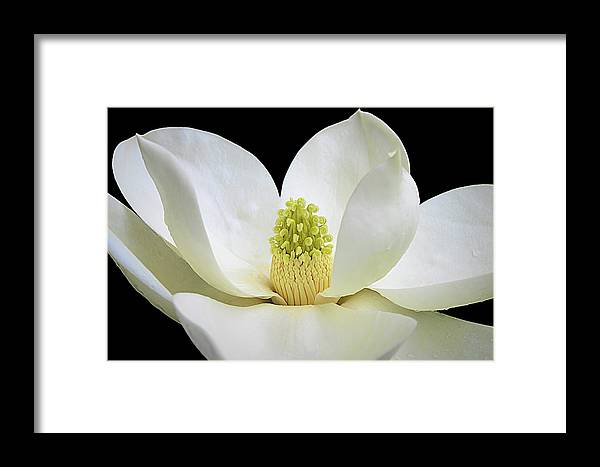 Isabela Cocoli Framed Print featuring the photograph Southern Magnolia 2 by Isabela and Skender Cocoli
