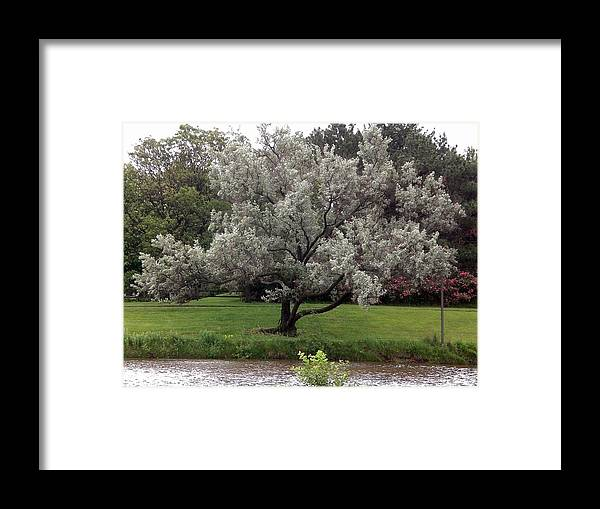 Tree Framed Print featuring the photograph Spanish Olive Tree by Sholeh Mesbah
