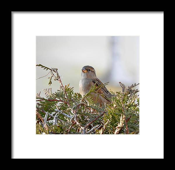 Sparrow Framed Print featuring the photograph Sparrow 1 by H J Loerch