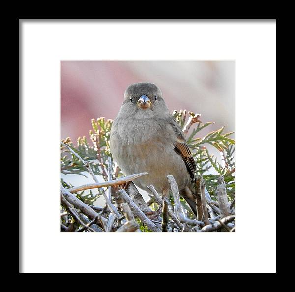 Sparrow Framed Print featuring the photograph Sparrow 2 by H J Loerch
