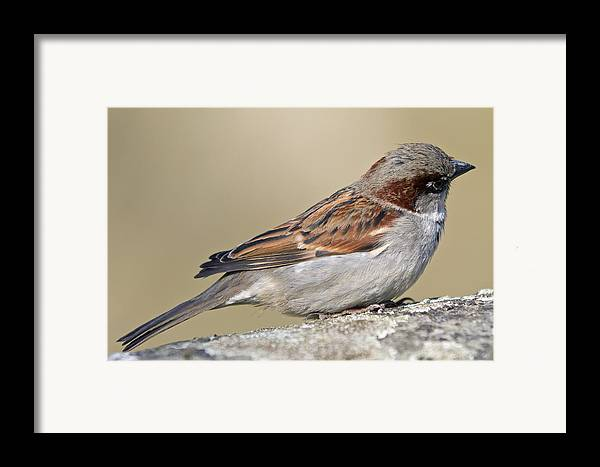 Outdoors Framed Print featuring the photograph Sparrow by Melanie Viola