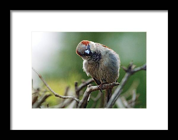 Humor Framed Print featuring the photograph Sparrow Puzzled At What It Sees by Steve Somerville