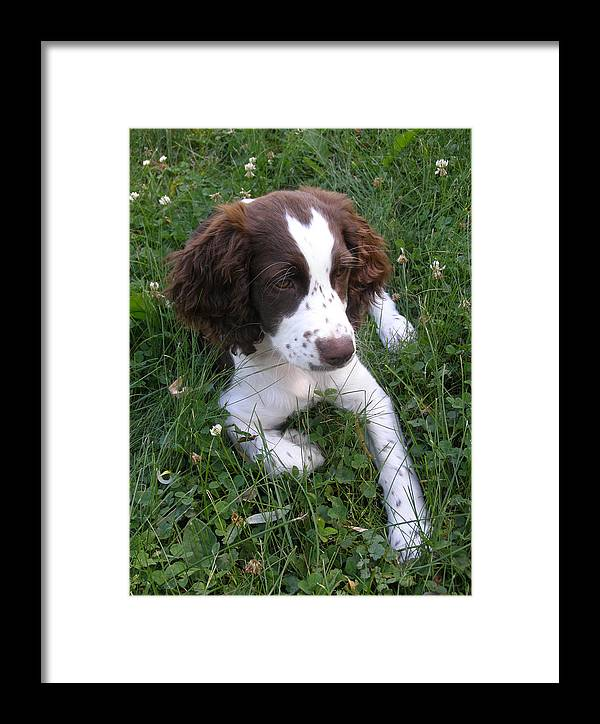 Springer Spaniel Framed Print featuring the photograph Spinger Spaniel Pup by Angie Rea