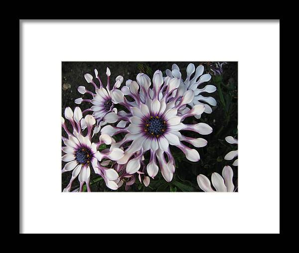 Floral Framed Print featuring the photograph Spinning Pinwheels by Kathy Roncarati