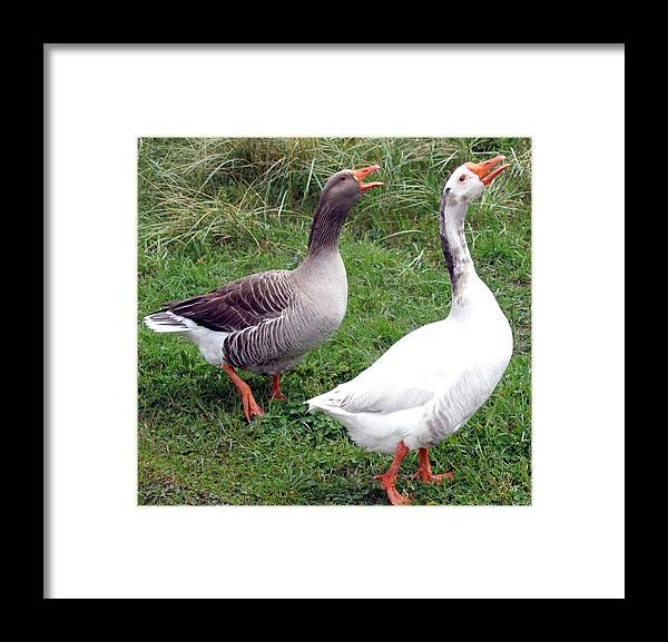 Geese Framed Print featuring the photograph Spirited Geese by Will Borden