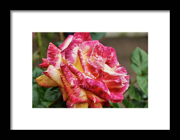 Rose Framed Print featuring the photograph Spotted Rose by Cate Franklyn