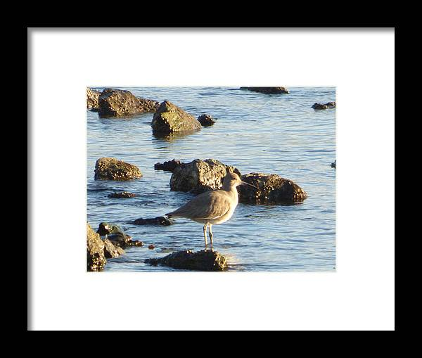 Spotted Sandpiper Framed Print featuring the photograph Spotted Sandpiper Keeping Sentry On The Bay by Andrea Freeman