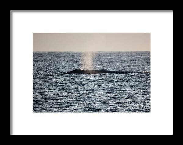 Blue Whale Framed Print featuring the photograph Spouting by Suzanne Luft