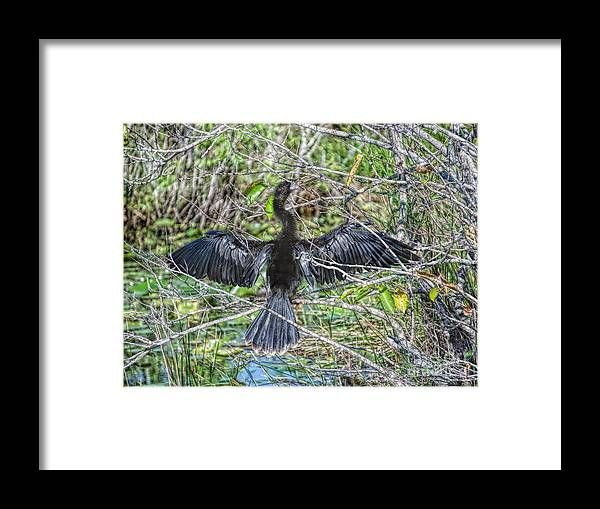 Darter Framed Print featuring the photograph Spreading Out Edition 2 by Judy Kay