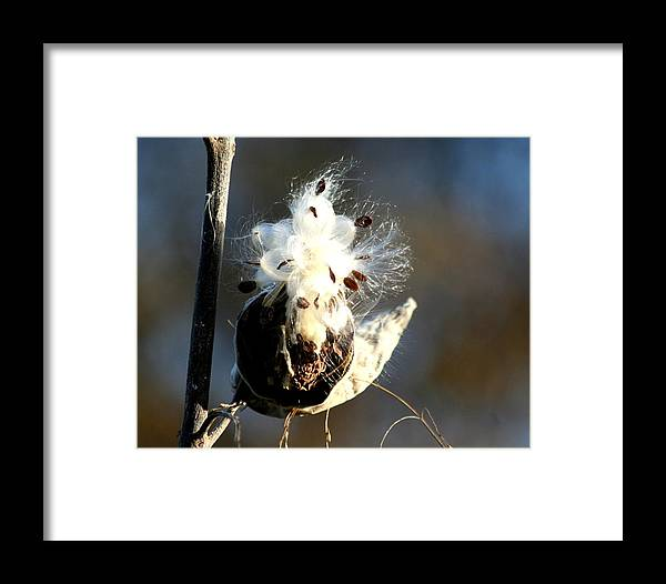 Milkweed Framed Print featuring the photograph Spreading Seeds by Diane Merkle