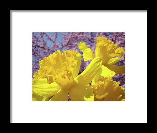 Flowers Framed Print featuring the photograph Spring Art Prints Yellow Daffodils Flowers Pink Blossoms Baslee Troutman by Baslee Troutman