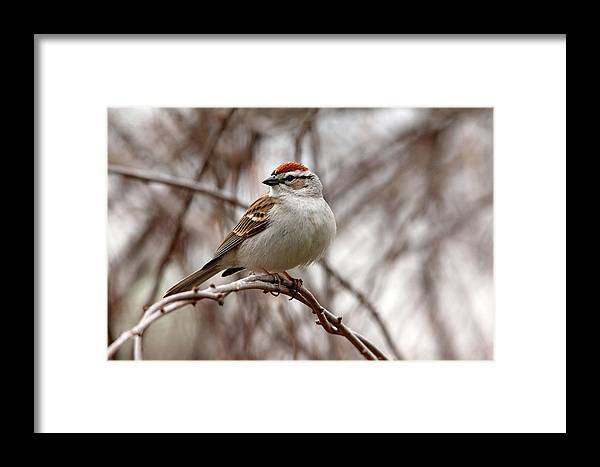 Chipping Sparrow Framed Print featuring the photograph Spring Chipping Sparrow by Debbie Oppermann