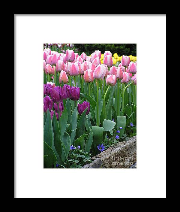 Tulips Framed Print featuring the photograph Spring Colors by Louise Magno