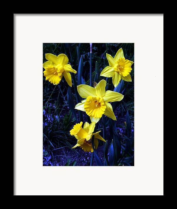 Flowers Framed Print featuring the photograph Spring Daffodills by Tiffany Vest