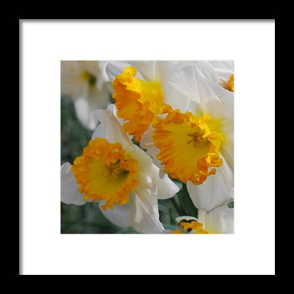 Daffodils Framed Print featuring the photograph Spring Daffodils by Linda Sramek