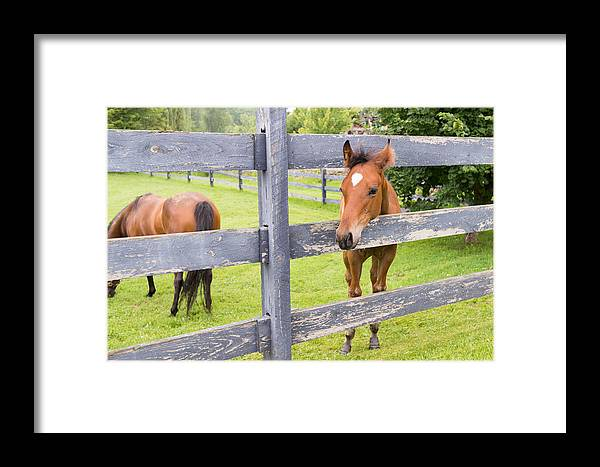 Foal Framed Print featuring the photograph Spring Foal by Steven R Breininger