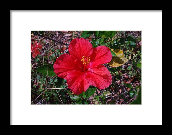 Flower Framed Print featuring the photograph Spring Hibiscus by Classic Color Creations