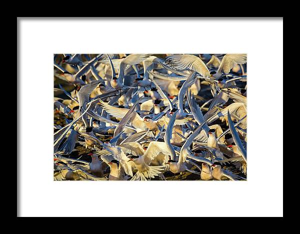 Tern Framed Print featuring the photograph Spring Is In The Air by Brian Knott Photography