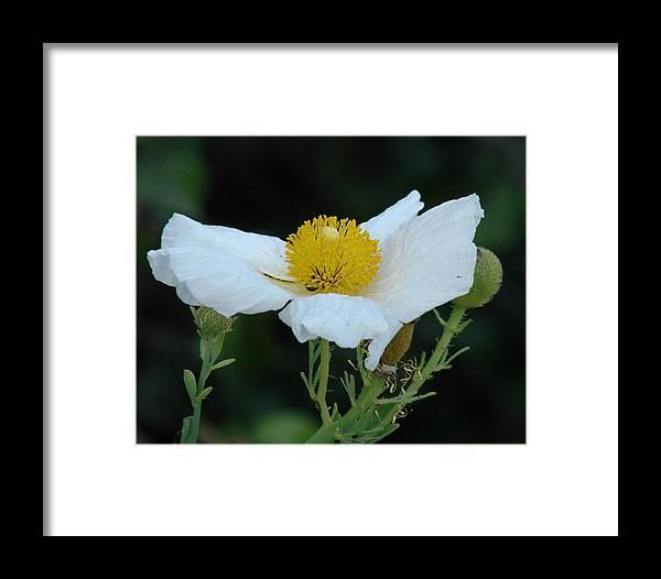 Poppy Framed Print featuring the photograph Spring Poppy by Liz Vernand
