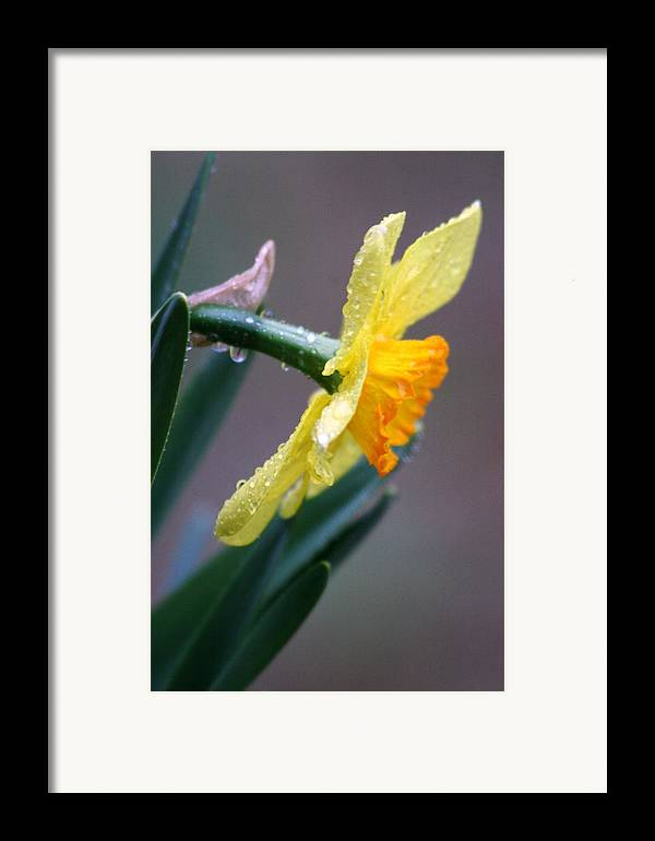 Daffodil Springtime Flower Rain Framed Print featuring the photograph Spring Rain by Linda Russell
