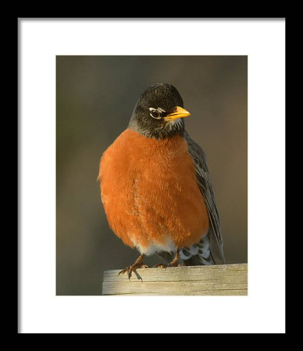Robin Maine Bird Orange Pose Framed Print featuring the photograph Spring Robin by Sheila Price