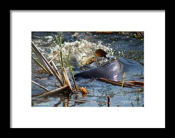 Carp Fish Spawning Framed Print featuring the photograph Spring Spawn by Joanne Smoley