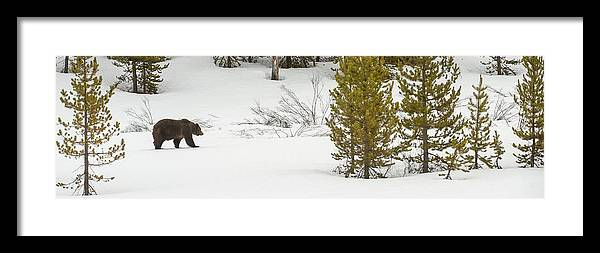 Grizzly Bear Framed Print featuring the photograph Spring Stroll by Amy Gerber