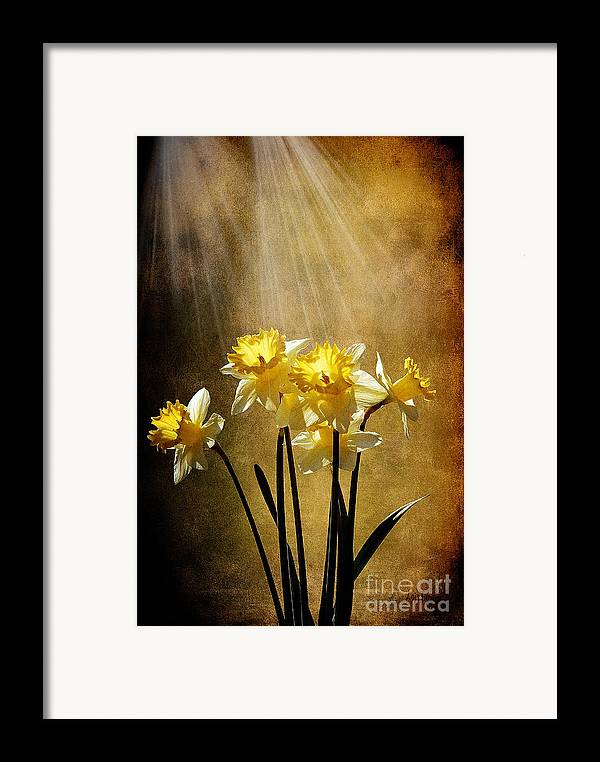Daffodils Framed Print featuring the photograph Spring Sun by Lois Bryan