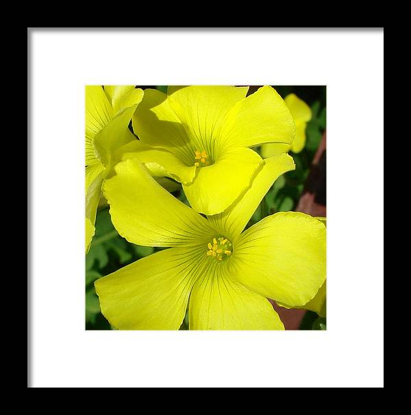 Flower Framed Print featuring the photograph Spring Yellow by Liz Vernand