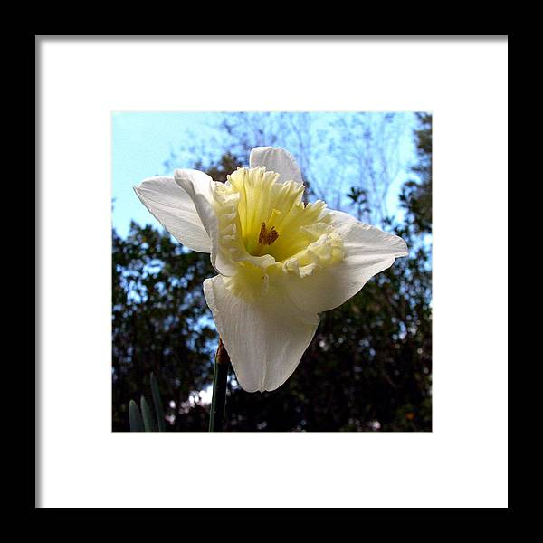 Daffodil Framed Print featuring the photograph Spring's First Daffodil 2 by J M Farris Photography
