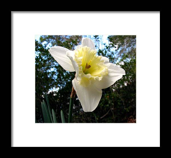 Daffodil Framed Print featuring the photograph Spring's First Daffodil 3 by J M Farris Photography