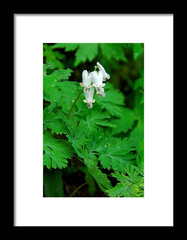 Wildflower Framed Print featuring the photograph Squirrel Corn by Alan Lenk