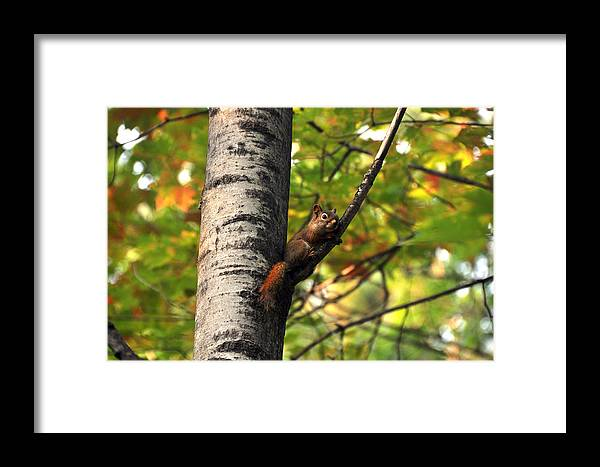 Squirrel Framed Print featuring the photograph Squirrel In Fall by John Ricker