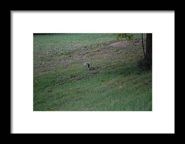 Willdlife Framed Print featuring the photograph Squirrel Looking For Walnuts by Richard Botts
